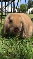 Last adorable mini lop cross holland lop baby bunny for sale