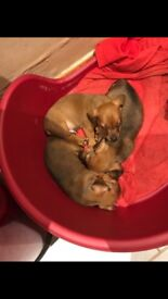 Unregistered mini smooth dachshunds for sale