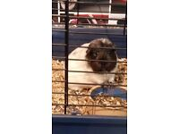 2 male guniea pigs with indoor cage and accessories