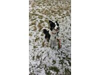 Boarder collie dog for sale