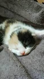 5 Longhair Ragdoll mix kittens to reserve ♡♡