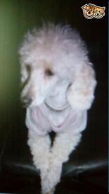 Female miniature poodle