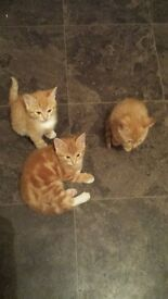 3 ginger kittens for sale £150 each 9-10 weeks old