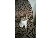 Lovely Playful female Kittens