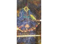 I gave 2 budgies for sale