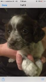 Crocker spaniel girl puppie