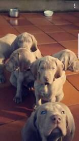 Champion Bloodline Weimaraner Puppy - Kennel Reg