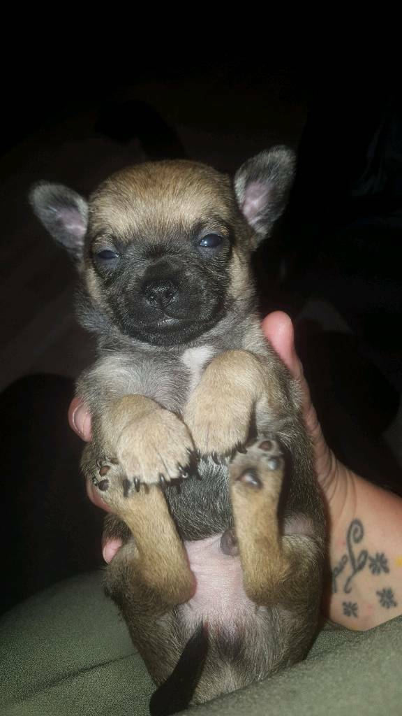 brindle chihuahua for sale chihuahua puppy puppies for sale rare brindle colour ready 8018