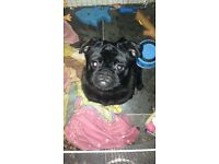 Beautiful male black pug puppy 9 months old