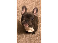 6 month old French bulldog BLUE