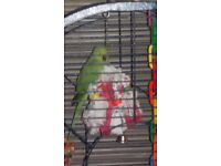 indian ring neck parrot and large new cage
