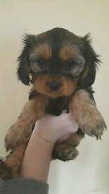 Cavalier Yorkie puppies for sale