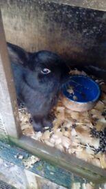 For Sale Female Rabbit