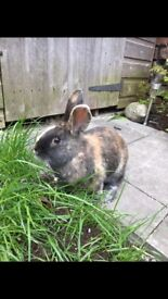 2 female rabbits with hutch and run