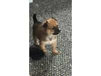 Stunning tiny chihuahua cross long haired Morkie puppies