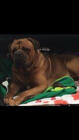 Bullmastiff x Dogue de Bordeaux Puppies
