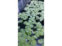 Dwarf water lettuce x 10