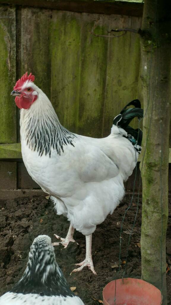 Rooster (Light Sussex)