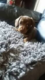 Miniature dash hound chocolate clolor girl 9 weeks old parents can be seen