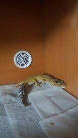 Hypo and blizard leopard geckos