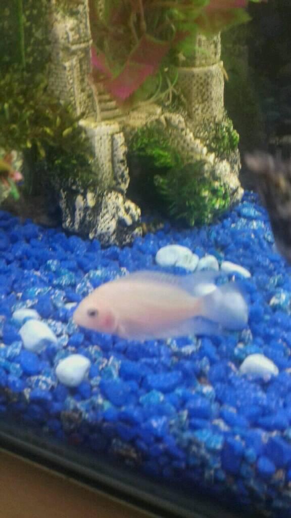 Male albino convict cichlid