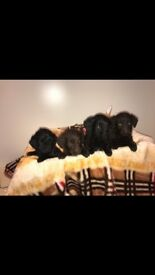 Miniature F2 Labradoodle Puppies