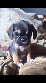 puggle puppies ( pug x beagle)