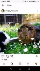 2 beautiful male guinea pigs and hutch