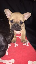 Male French bulldog puppies!