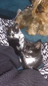 Two black and white kittens one boy and one girl