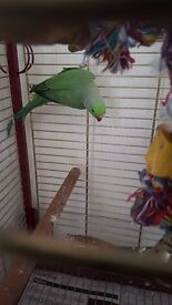 Green ringneck parrot and cage