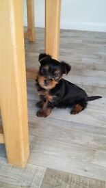 A gorgeous and adorable little yorkshire terrier boy for sale.