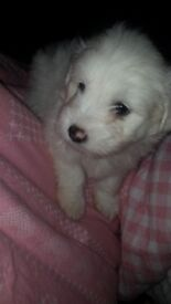 Beautiful puppies shih tzu cross bichon frise looking for a forever home!