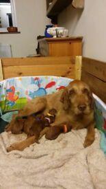 Hungarian Vizsla puppies- litter of seven