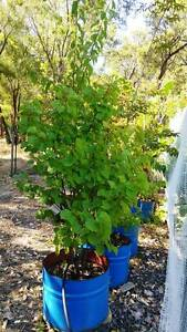 Thick Apricot Tree 2metres tall in 200 Litre Drum Half Bunbury Bunbury Area Preview