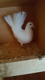 I am selling this beautiful pigeons mix race hi flyers low flies for more information please call me