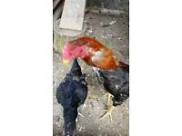 Aseel | Birds for Sale - Gumtree