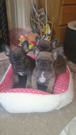 Girls/boys Frenchies **£1500**