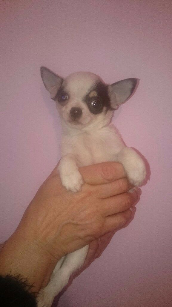 Chihuahua puppies ready nowi