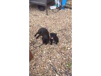 Beautiful black female pug puppy