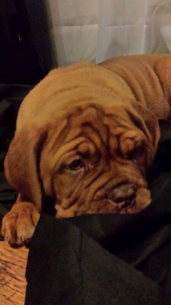 kc registered dogue de bordeaux puppies for sale.