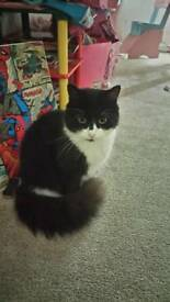 3 year old, fluffy black and white cat