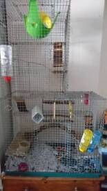 Dumbo rats, cage and accessories