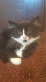 Black & white kittens for sale