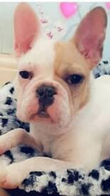 Male French bulldog KC registered