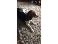 7 month old male tri-colour beagle for sale