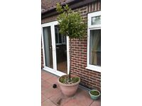 Bay Tree for sale reduced to £40