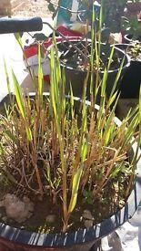 """2 X Variegated Common Reed Phragmites australis """"Variegatus"""". £4 each"""
