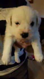 Beautiful scottie x bichon puppies