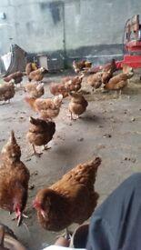 24 brown hens